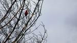 <i>Cardinal<i> by Michael Arnashus